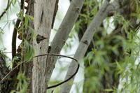 その後…【コゲラ・シジュウカラ】 - 鳥観日和