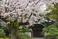 有楽苑の『桜』今年のいろいろ - 名鉄犬山ホテル情報