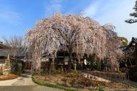 京のさくら2017本満寺の枝垂れ桜 - ぴんぼけふぉとぶろぐ2