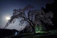 月夜の枝垂れ桜 - Qualia