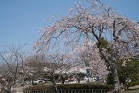 #3020 日和山公園-お花見日和 (6) - 14番目の月
