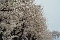 桜花 - 「 ボ ♪ ボ ♪ 僕らは釣れない中年団 ♪ 」Ver.1