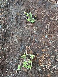 芽吹き エリゲロン アズールフェアリー - ヘブンリーブルーの咲く朝に