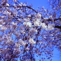 旅するカメラ今年最後の桜(になるのか?) - ばーみり On Line