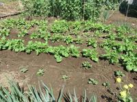 ジャガイモに土寄せを - 光さんの日常