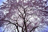 2017桜佐々木家の枝垂れ - 彩