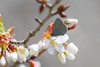 桜とスギタニルリシジミとイカリモンガとサカハチチョウByヒナ - 仲良し夫婦DE生き物ブログ