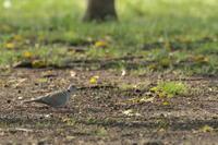 新しい命【シラコバト・カイツブリ・スズメ・シジュウカラ・キジバト】 - 鳥観日和