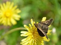 春型のコチャバネセセリ、初見。 - 堺のチョウ