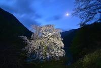 お月さんとしだれ桜川上村 - 峰さんの山あるき