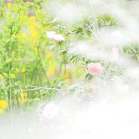 原谷苑のお花達〜(  ̄3 ̄)~♪ - *PHOTOMOMIN*