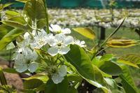 ■白い花咲く17.4.20(ナシ、カラタチ、ウワミズザクラ) - 舞岡公園の自然2