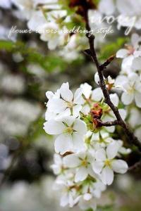 『IVORY桜 開花しました〜♬』 -  Flower and cafe 花空間 ivory (アイボリー)
