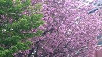 2017、櫻、咲く。-拾八:今日の撮って出し!千川通りの八重櫻 - デハ712のデジカメ日記2017