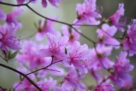 桜もいいけど、ツツジもね♪ - 万願寺通信