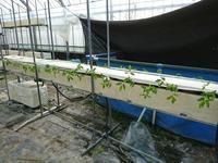 ポ・トレタ  トマトを植えました - ◇◇◇ tomatorose  ~ トマトローゼ ◇◇◇