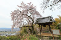 京のさくら2017地蔵禅院の枝垂れ桜 - ぴんぼけふぉとぶろぐ2