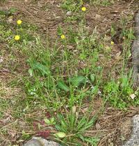 花径は1センチほどです,ヒメブタナ - 楽餓鬼