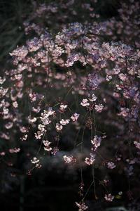 美しきしだれ桜 - Today's one photograph