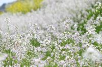 白い絨毯 - 丹馬のきょうの1枚
