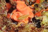 #70オハグロベラ属の一種ー2(スニーキー・ラス) - 沖縄本島のベラ