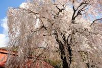 桜の香り - ビール片手に