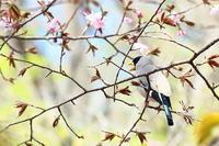 野鳥と桜 - 上州自然散策2