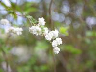 ◆花情報◆蜆花(シジミバナ)の白い花 - 名鉄犬山ホテル情報