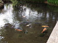 カルガモと鯉 - 浅川野鳥散歩