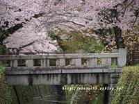 哲学の道の桜 - 京・街・さんぽ
