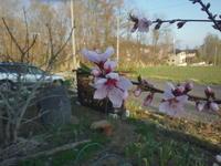 桃の花咲く - 冬青窯八ヶ岳便り