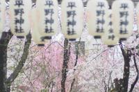 どんより空の桜〜平野神社〜 - *PHOTOMOMIN*