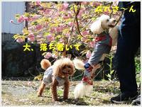 満開の牡丹桜を求めて、一心寺さんへ  続 - さくらおばちゃんの趣味悠遊