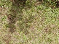 芝とチドメグサ - 百寿者と一緒の暮らし