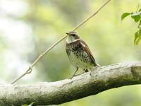 冬の使者ツグミがまだ - コーヒー党の野鳥と自然 パート2
