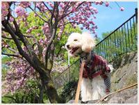 八重桜って色も濃いし、ボリュームたっぷりだから、散った花びらもとってもきれい!! - さくらおばちゃんの趣味悠遊