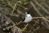 サンショウクイ:(山椒喰) - 武蔵野の野鳥