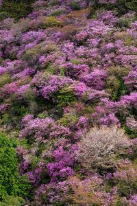 ミツバツツジと山桜(高雄) - 花景色-K.W.C. PhotoBlog