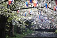 中野市の桜 - 野沢温泉とその周辺いろいろ