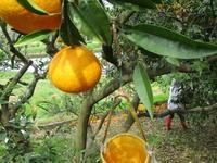 いっちゃんの蜜柑山で・・・ - 島暮らしのケセラセラ