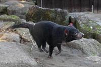 冬の悪魔~ひた走るタスマニアデビル - 続々・動物園ありマス。