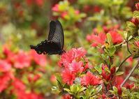 アゲハはツツジの花で - 公園昆虫記