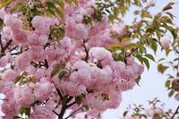 里桜が満開 - 満足満腹  お茶とごはん