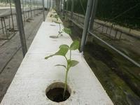 水耕メロン ~ 植えました - ◇◇◇ tomatorose  ~ トマトローゼ ◇◇◇