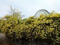 モッコウバラ - だんご虫の花