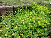 ホップクローバー - だんご虫の花