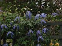 クレマティス・アルピナ満開に - チルターンの風に吹かれてーイギリスの小さな村の小さな庭からー