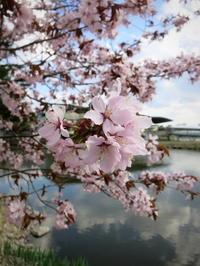4月28日*軽井沢プリンスショッピングプラザの桜~L.L.Bean Factory Store - ぴきょログ~軽井沢でぐーたら生活~