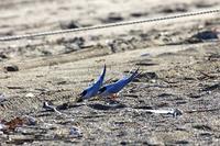 ★コアジサシの保護対策にご協力お願いします - 葛西臨海公園・鳥類園Ⅱ