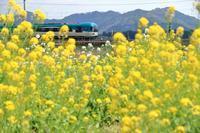 菜の花 - 今日も丹後鉄道